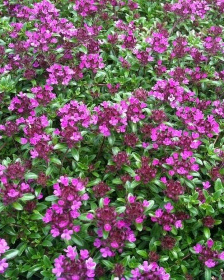 Thymus praecox 'Coccineus' | Tijm  | Vaste plant