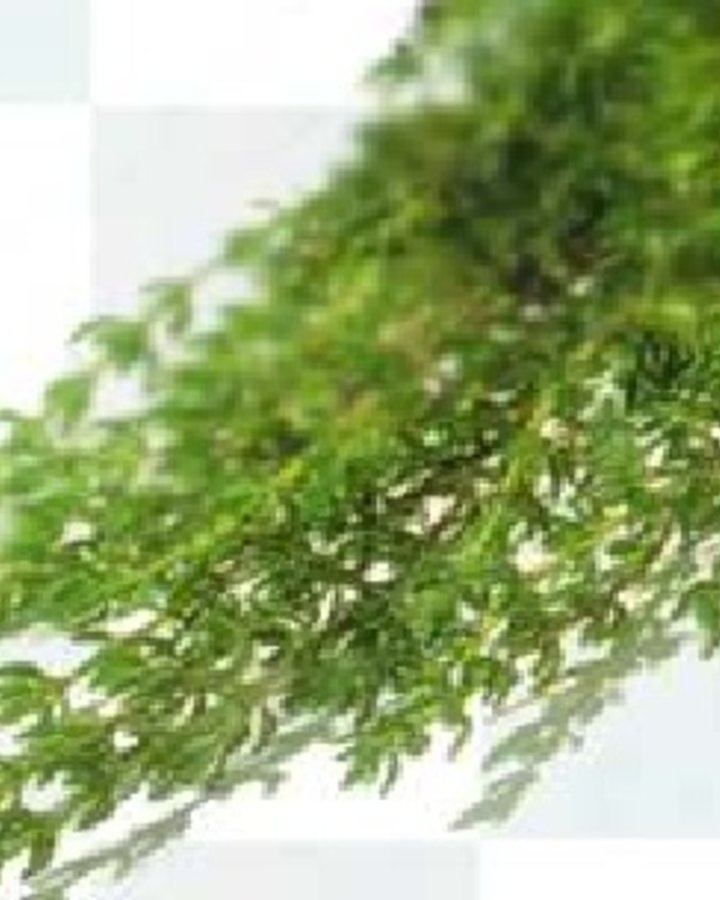 Thymus vulgaris   Eetbare tijm    Vaste plant