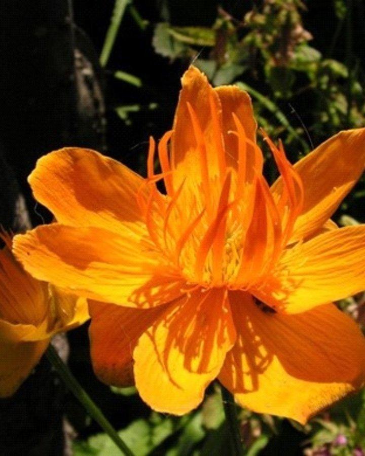 Trollius chinensis 'Golden Queen'   Globebloem    Vaste plant