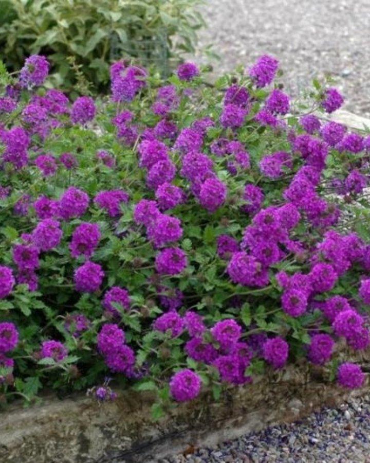 Verbena canad. 'Homestead Purple'