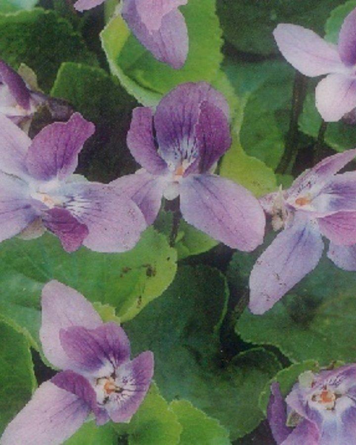 Viola odorata   Viooltje