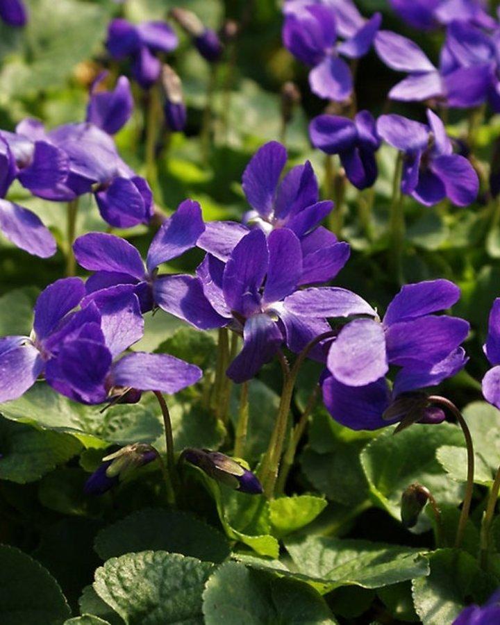 Viola odorata 'Königin Charlotte' / Maarts viooltje