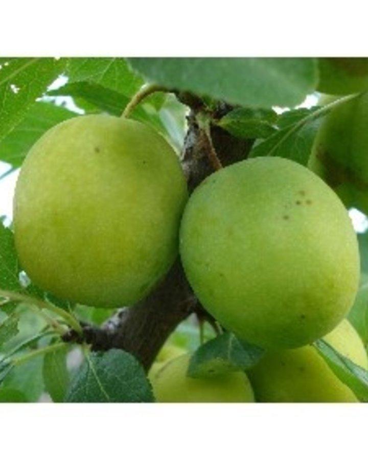Prunus d. 'Ontario' / Witte pruim