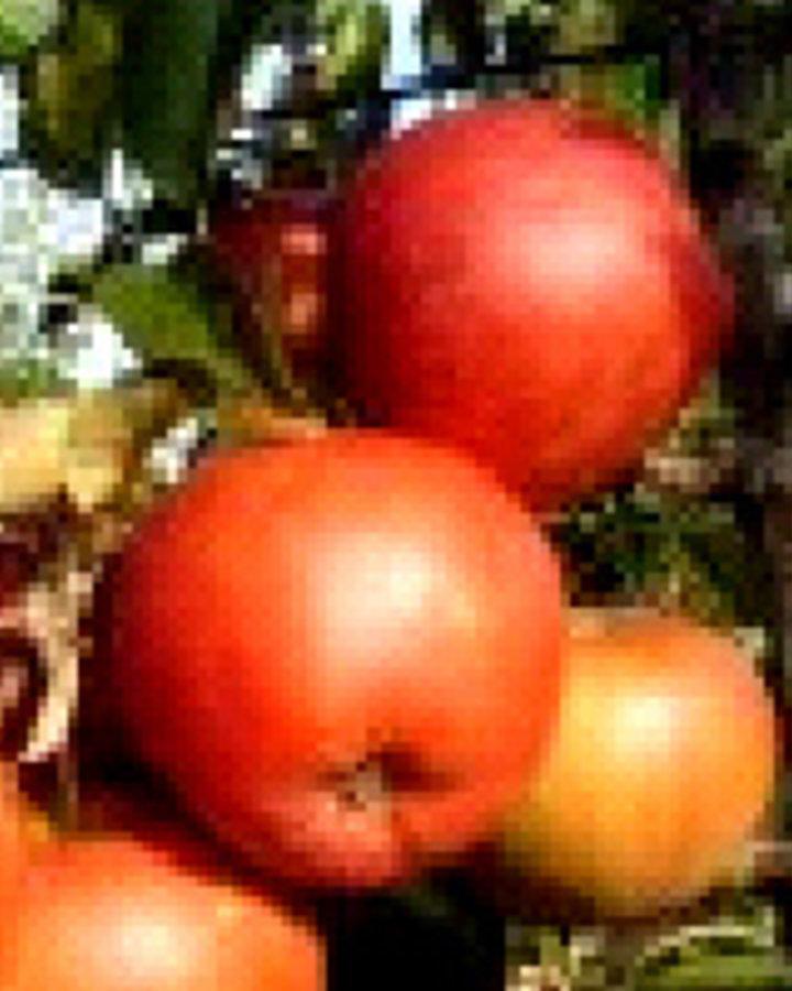 Malus d. 'Rubinstar | Appelboom | Wortelgoed