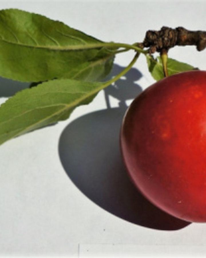 Prunus d. 'Kroos Sara' | rode kroos | Wortelgoed