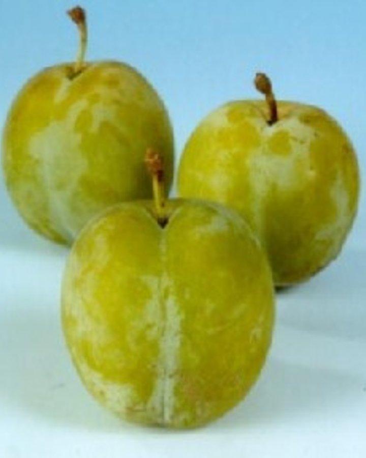 Prunus d. 'Reine Claude d'Oullins' | Witte eierpruim | Wortelgoed