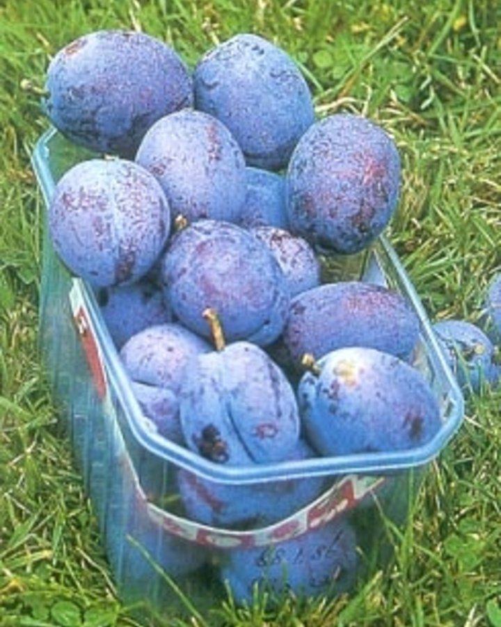 Prunus d. 'Voyageur' | Pruimenboom | Wortelgoed