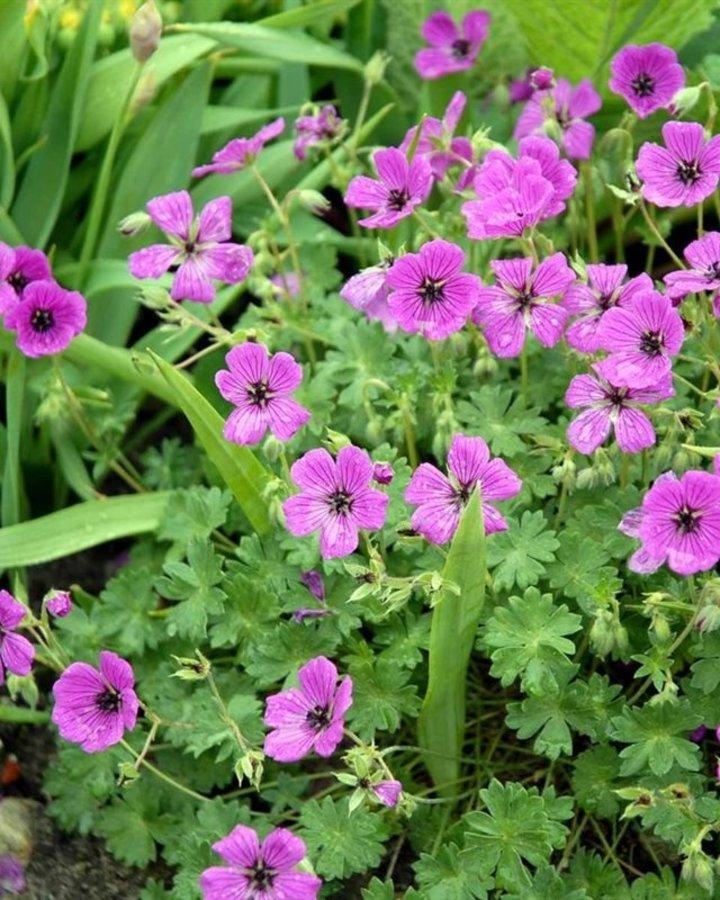 Geranium cin. 'Splendens' | Ooievaarsbek | Vaste planten