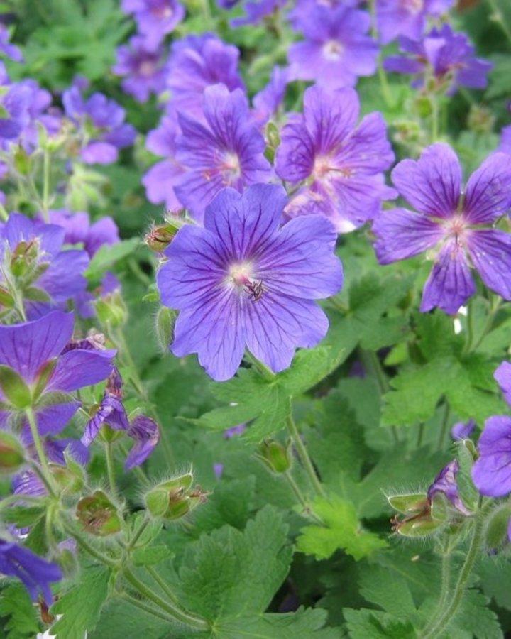 Geranium 'Johnson's Blue' | Ooievaarsbek | Vaste planten