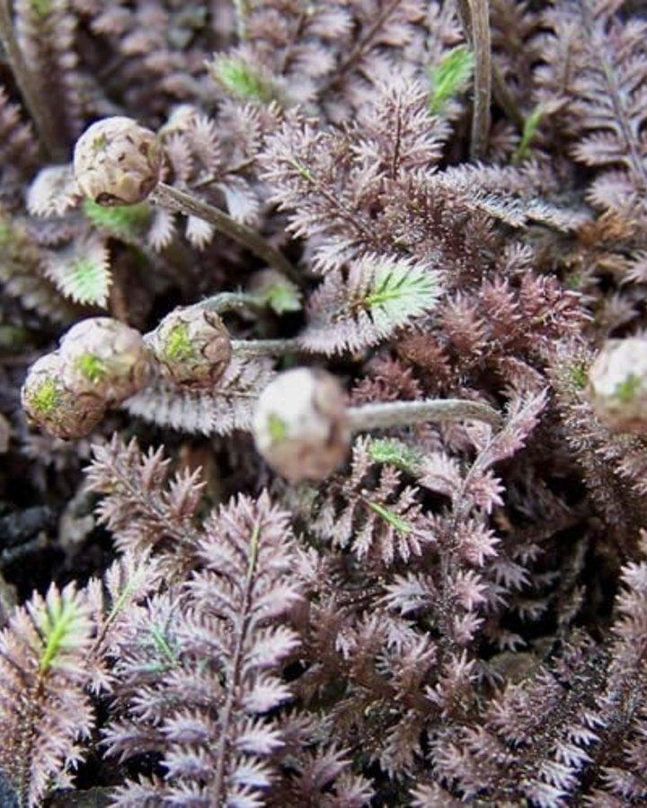 Leptinella potentillina / Vedermos