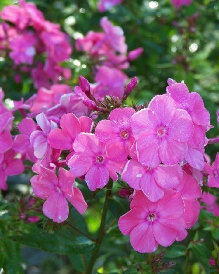 Phlox (P) 'Rijnstroom' | Vlambloem  | Vaste plant