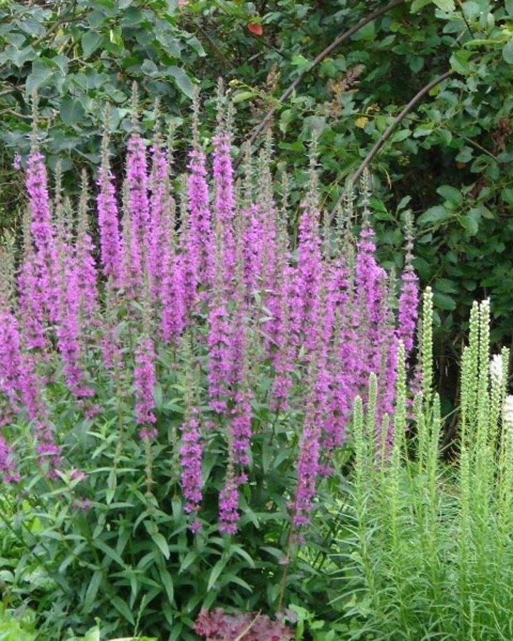 Salvia nemorosa 'Rose Queen' | Siersalie  | Vaste plant