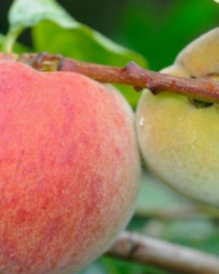 Prunus per. Avalon Pride