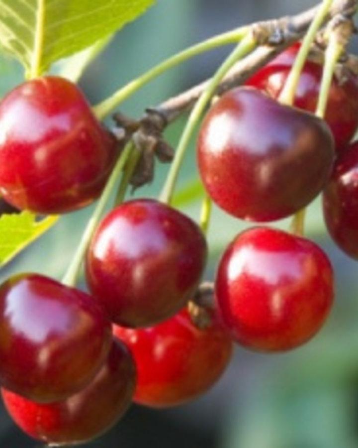 Prunus a. 'Early Rivers' | Vroege duitser | Wortelgoed
