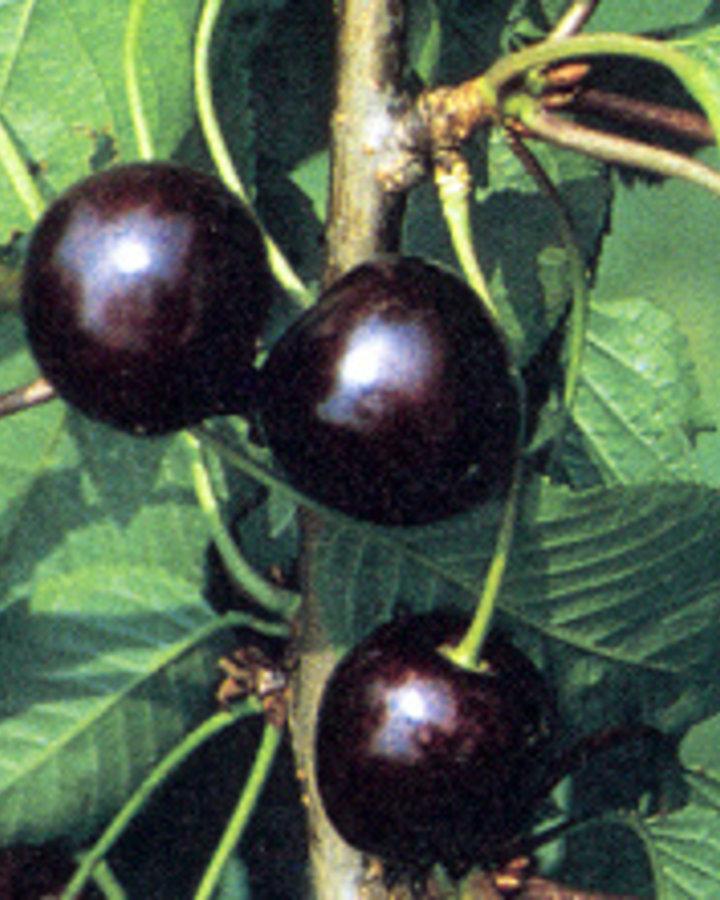 Prunus a. 'Karina'  / Zoete kers