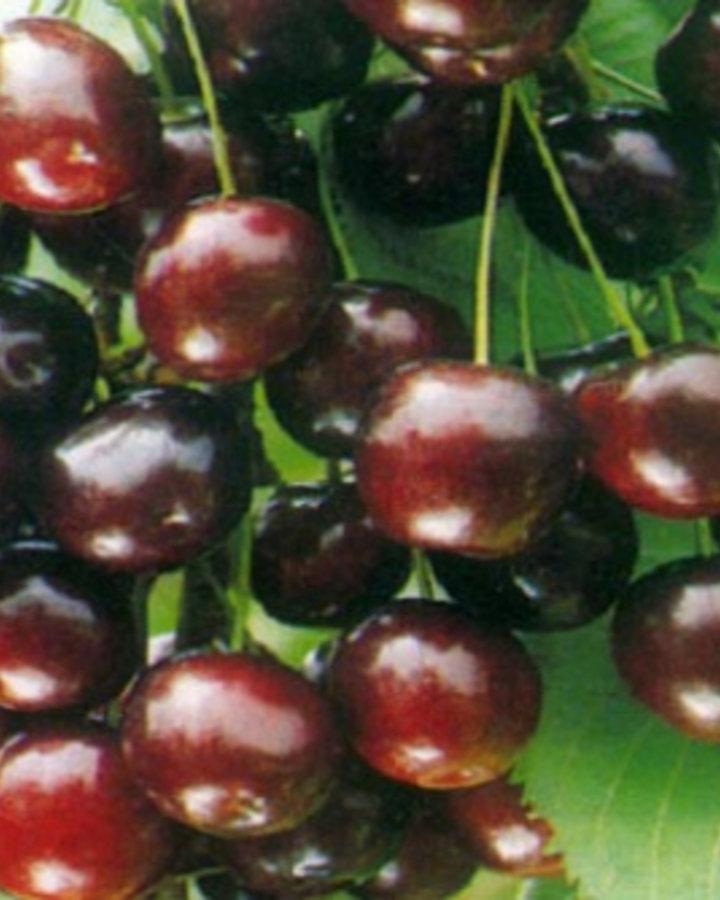 Prunus a. 'Sweetheart'   Zoete kers   Wortelgoed
