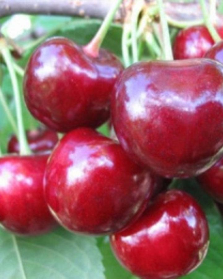 Prunus a. 'Sylvia' / Zoete kers