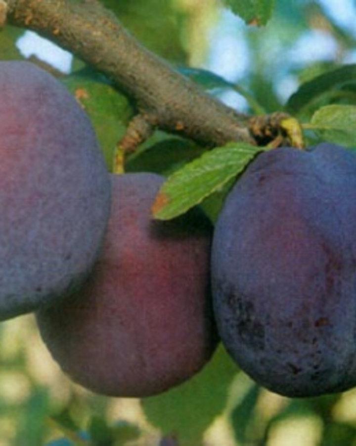 Prunus d. 'Belle de Louvain' | Zoete pruim | Wortelgoed