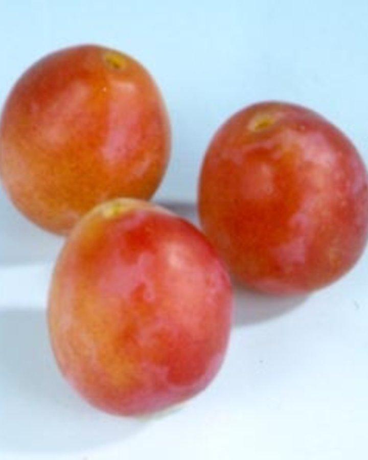 Prunus d. 'Early Laxton' | Oude pruimenboom | Wortelgoed