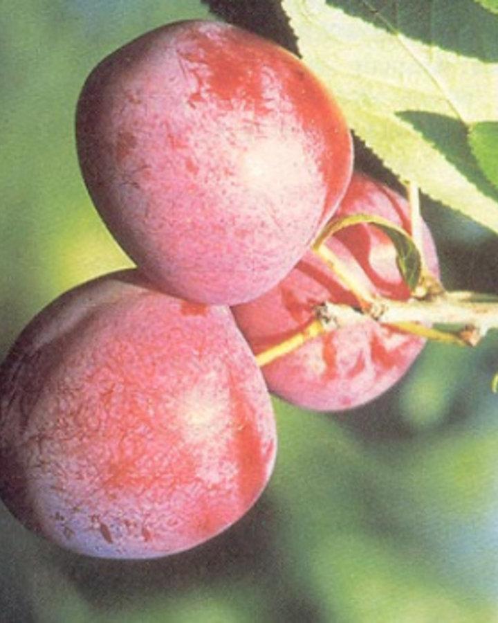 Prunus d. 'Excalibur' / Pruim