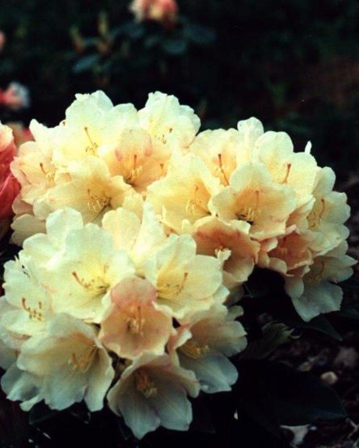 Rhododendron (Y) 'Golden Torch'