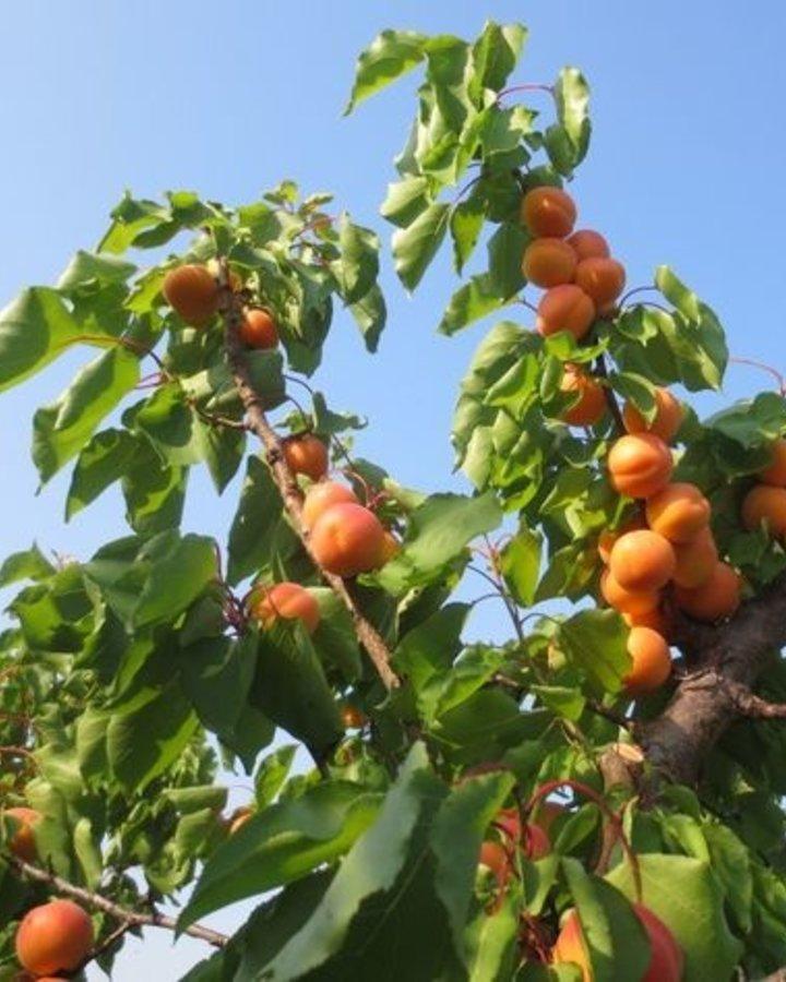 Prunus armeniaca 'Petit Muscat'