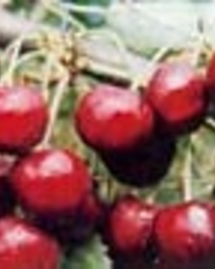 Prunus a. 'Büttn. Rote Knorpelkir.' / Zoete kers