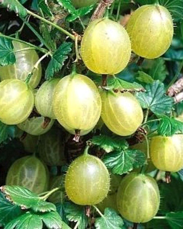 Ribes u.-c. 'Malahit' / Witte kruisbes