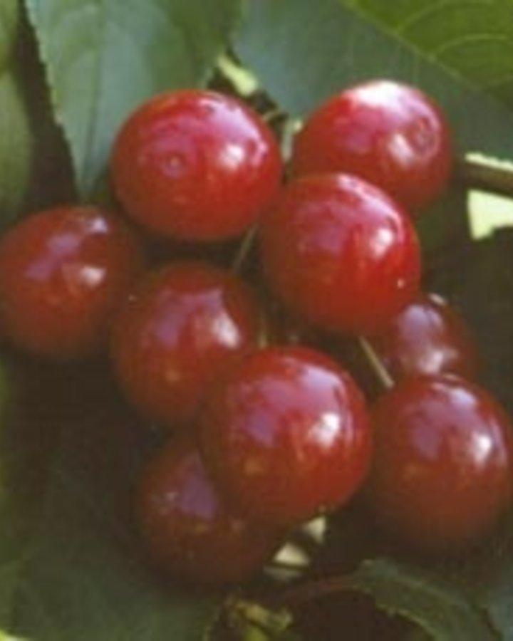 Prunus cer. 'Rhein. Schattenmorel / Zure kers