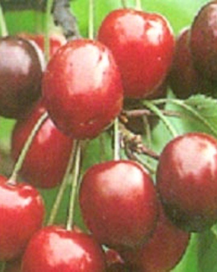 Prunus a. 'Venus' / Zoete kers