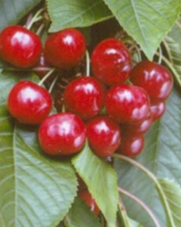 Prunus a. 'Van' | Zoete kers | Wortelgoed