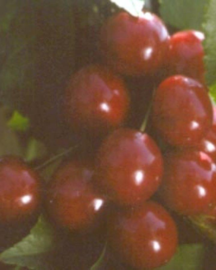 Prunus cerasus 'Kelleriis nr.16' | Zure kers | Wortelgoed
