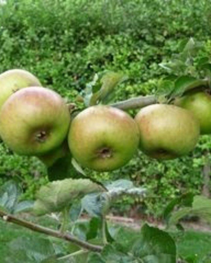 Malus d. 'Zoete Veen' | Zoete stoofappel | Wortelgoed