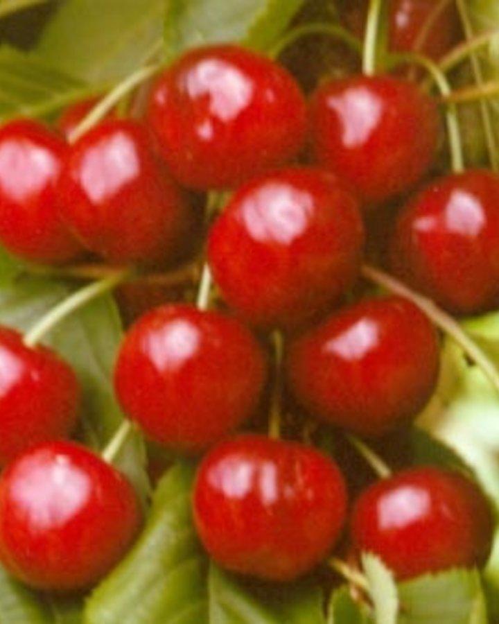 Prunus a. 'Fruehe Meckenheimer' / Zoete kers