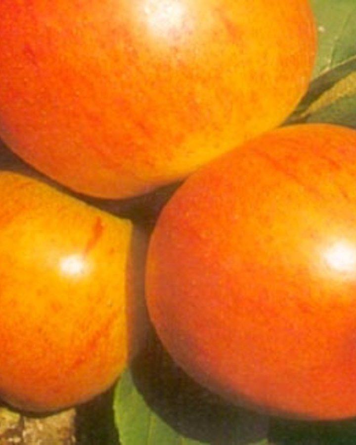 Malus d. 'Ellison's Orange' / Handappel