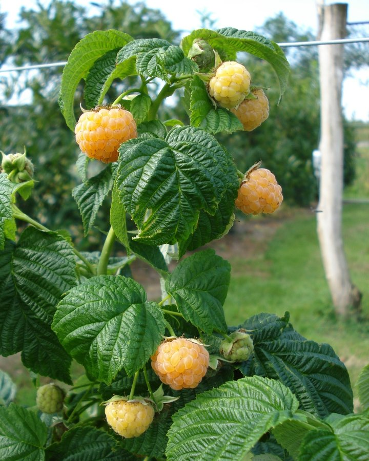 Rubus idaeus 'Fallgold' | Gele herfstframboos  | Kleinfruit