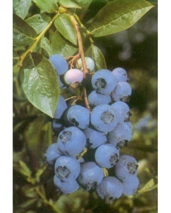 Vaccinium cor. 'Northland' | Amerikaanse bosbes  | Kleinfruit