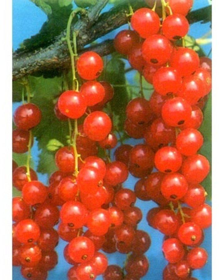 Ribes r. 'Red Lake' / Rode bes