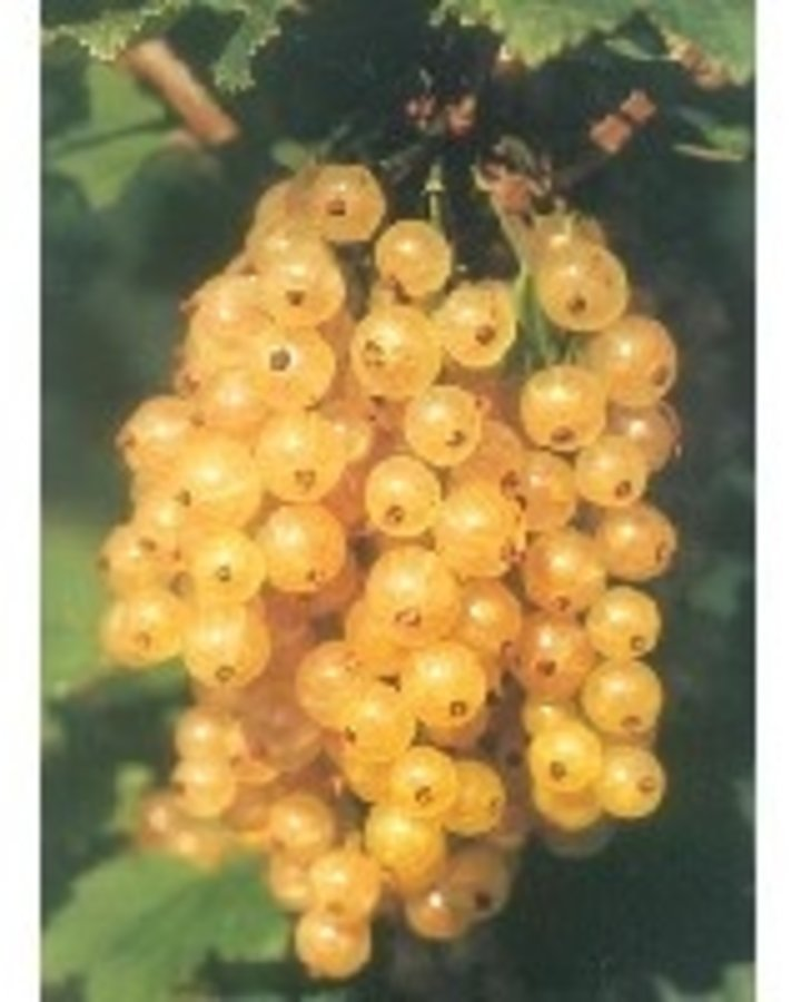 Ribes rub. 'Primus' / Witte bes