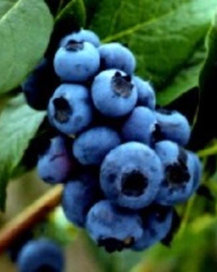 Vaccinium cor. 'Bluejay'   Amerikaanse bosbes    Kleinfruit