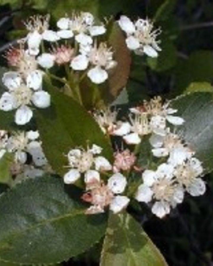 Aronia melanocarpa 'Viking' / Appelbes