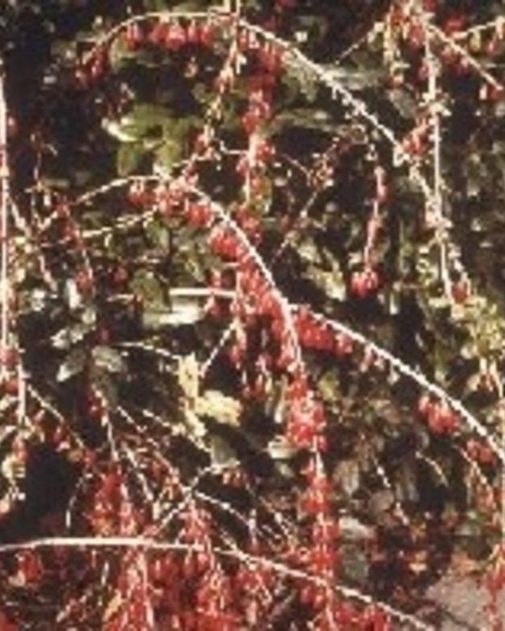 Lycium barbarum / Goij bes