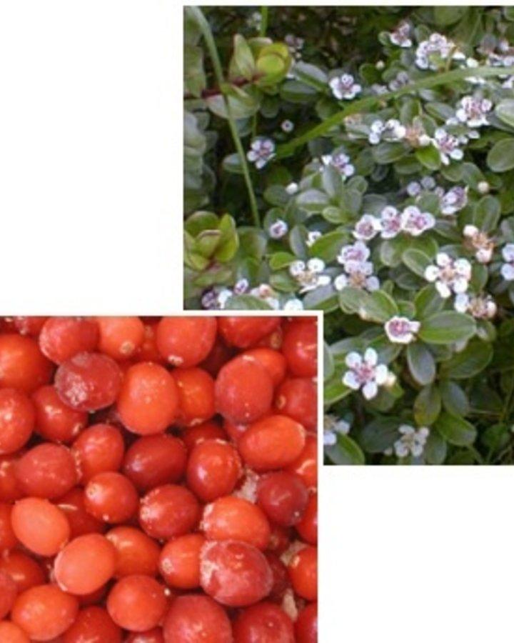 Vaccinium macrocarpon 'Pilgrim' / Cranberry