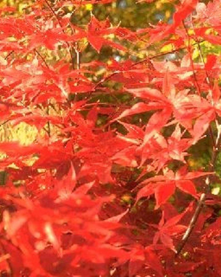 Acer palmatum   Japanse esdoorn   Laanboom Wortelgoed