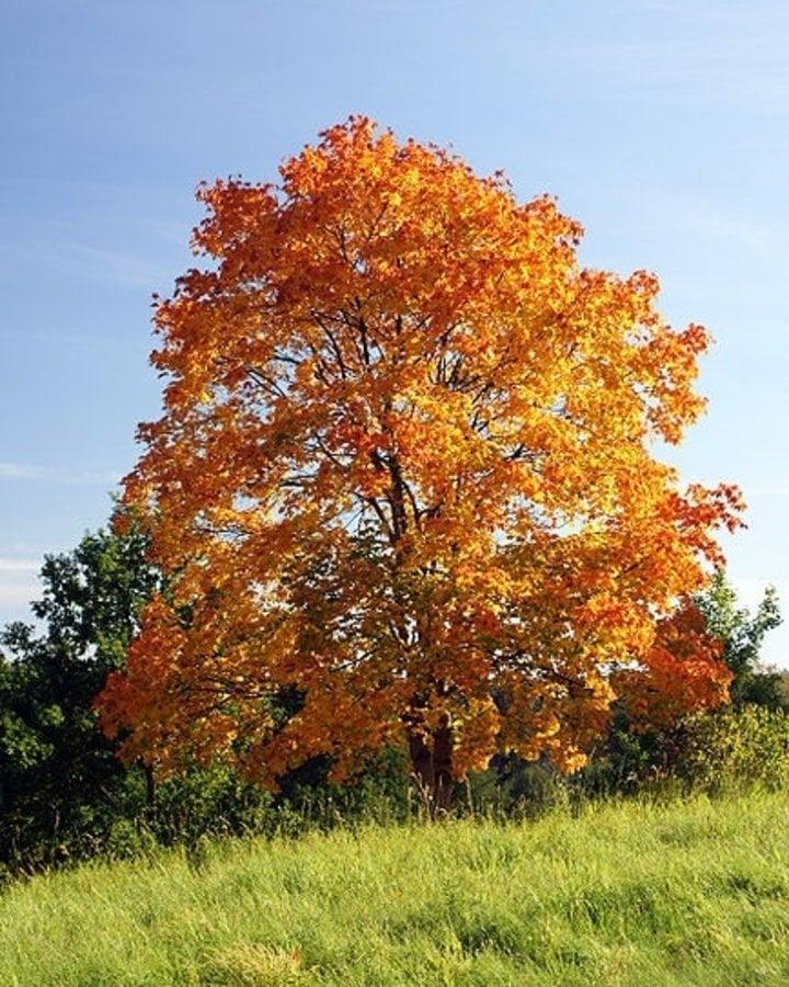 Acer platanoides   Noorse esdoorn   Laanboom Wortelgoed