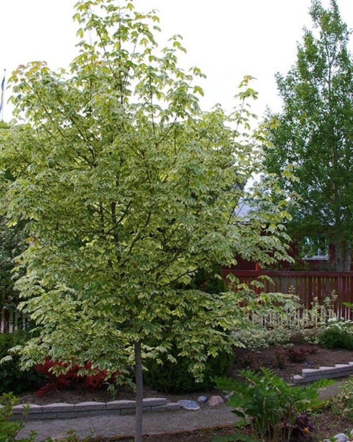 Acer plat. 'Drummondii' / Bonte esdoorn