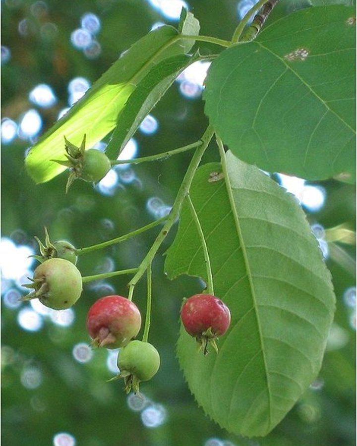 Amelanchier lamarckii / Krentenboompje