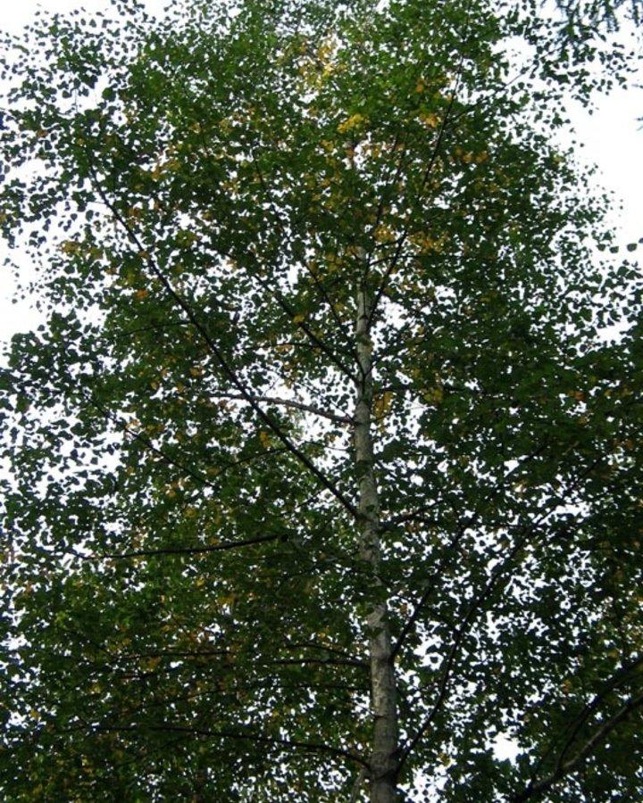 Betula pubescens / Zachte berk