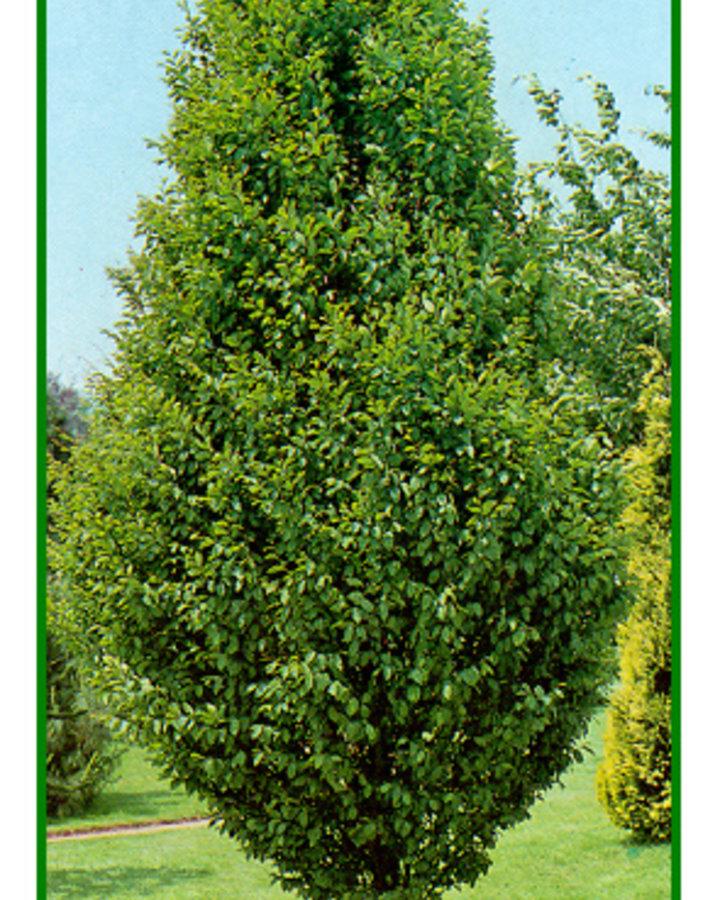 Carpinus betulus 'Fastigiata' / Zuilhaagbeuk