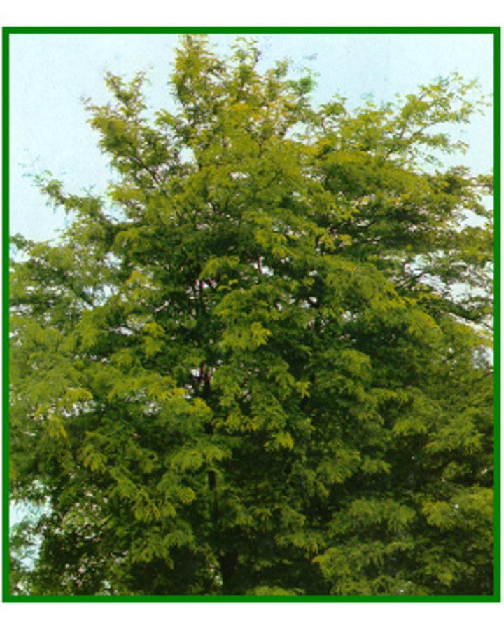 Gleditsia triac. 'Sunburst' | Gele christusboom  | Laanboom container